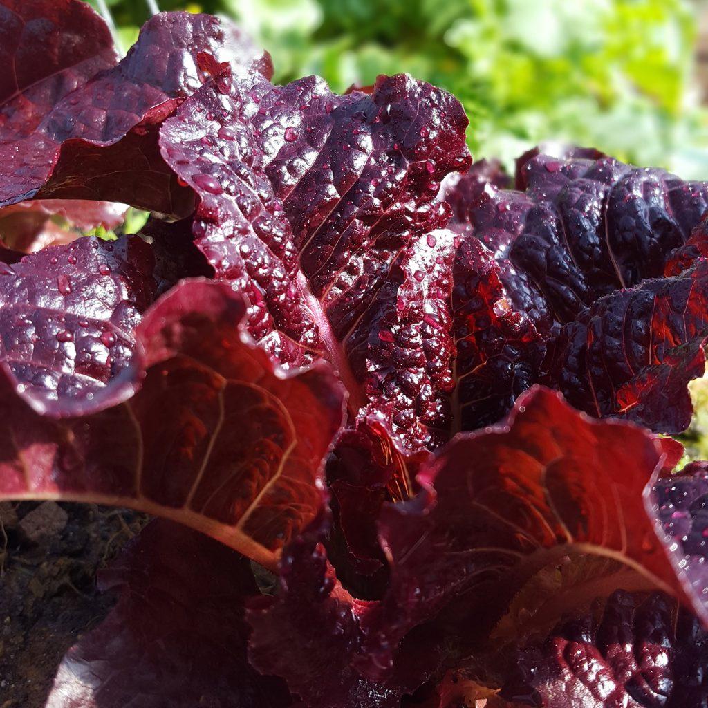 Red Romaine Lettuce