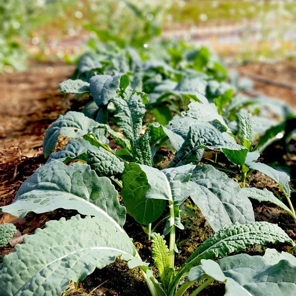 Baby Kale Plants