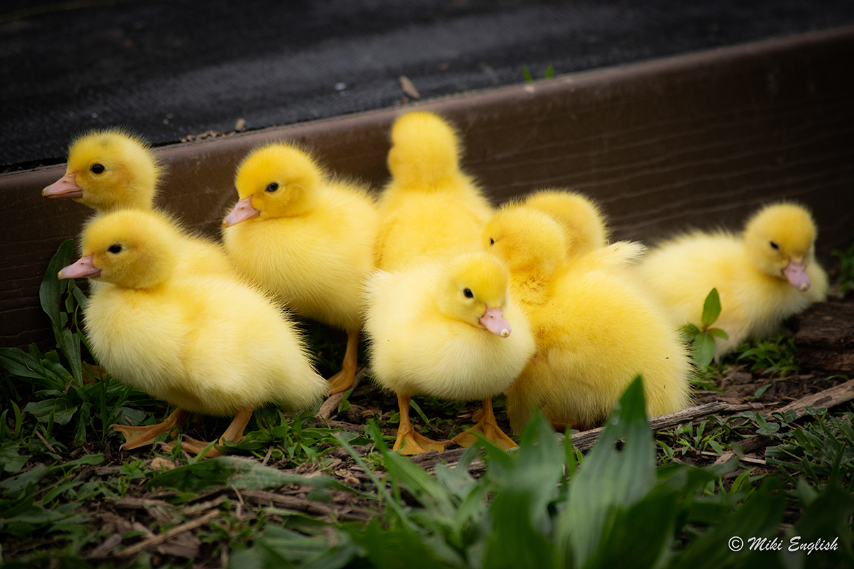 white muscovy ducklings