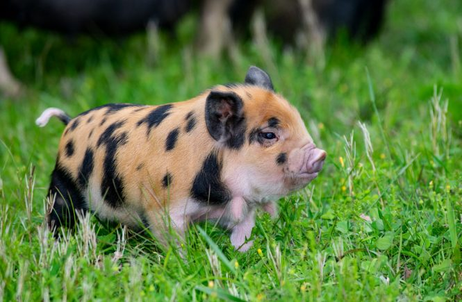 kune kune piglet ginger and black