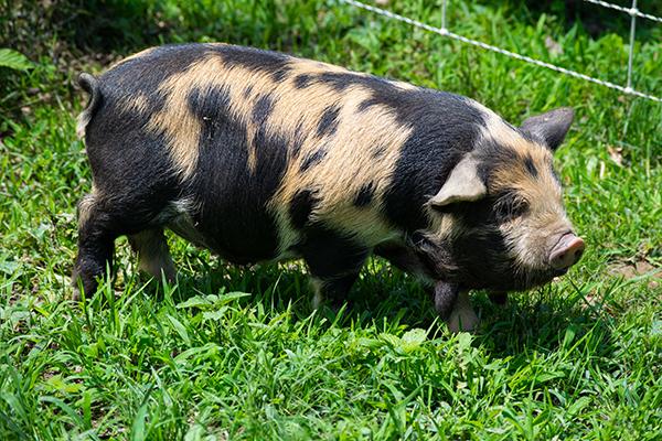 Piglet-1__5-25_rightside