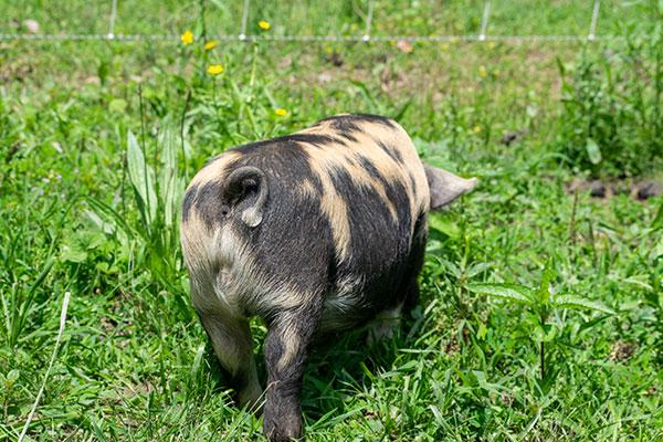 Piglet-1_backside