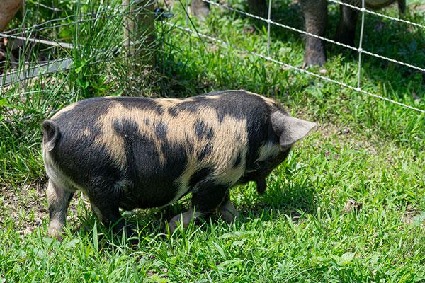 Piglet-1_rightside2