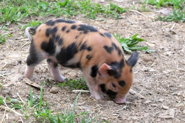 Kunekune piglet #1 Male 1 week old